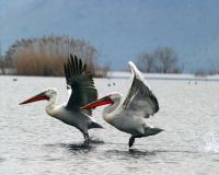 Pelikani