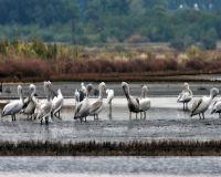 Skadar-Lake-pelican