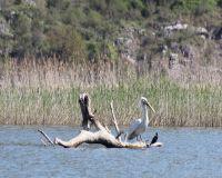 Skadar-Lake-pelicans